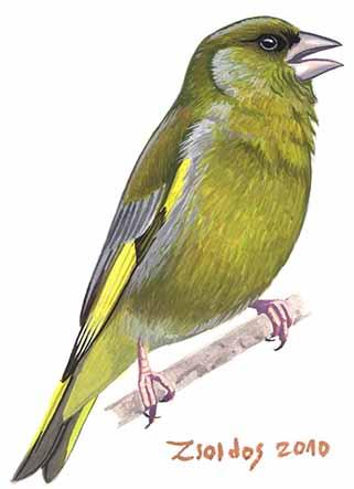 Galamb nagyságú madarak